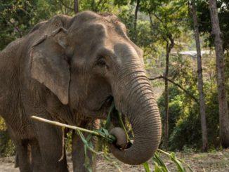 Thailandsk elefantlejr ændrer kurs