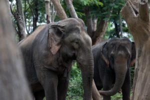 To elefanter i Elephant Valley Thailand
