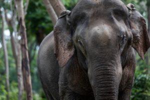 Den 50 år gamle elefant Zach blev i sommer frikøbt med henblik på, at han skal flytte ind i Elephant Valley Safari